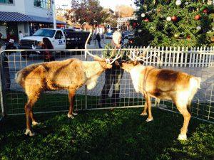 Reindeer2015 1000pix